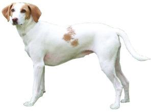 Chien courant d'Istrie à poil ras : Toutes les races de chien