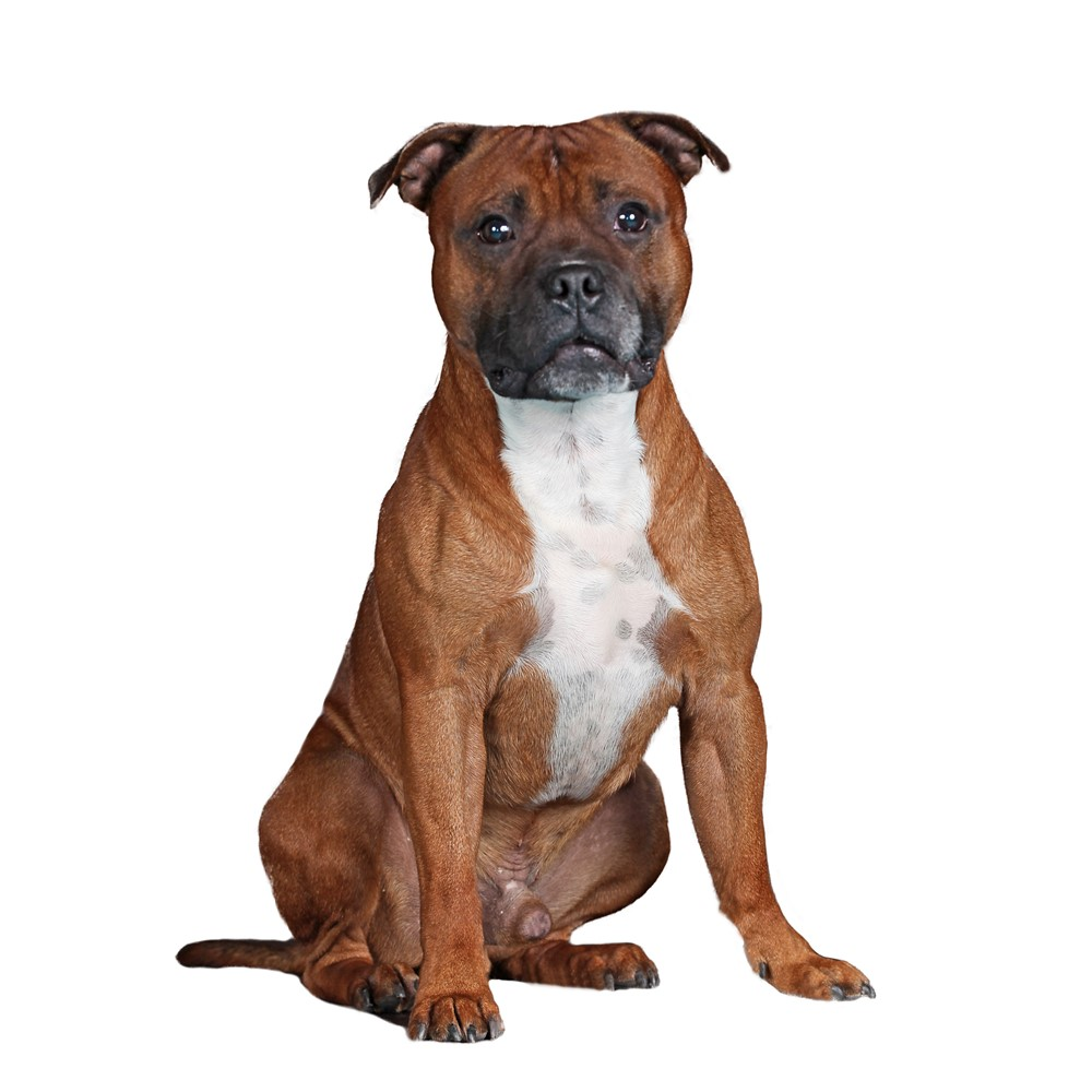 staffordshire bull terrier assis