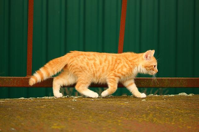 Actualite animaux : Un comportement étrange, les chats qui suivent leur maitre