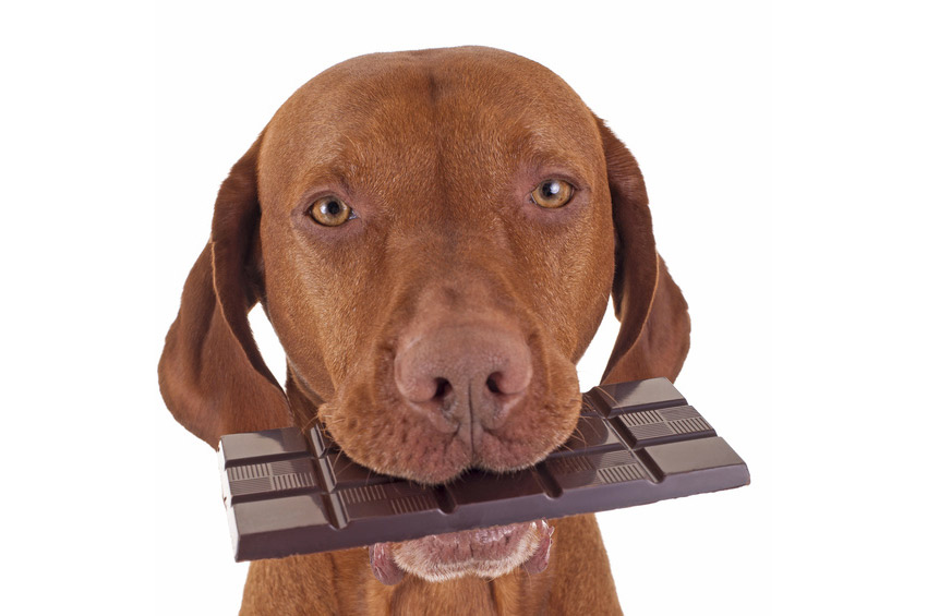 Alimentation toxiques chien : chocolat, oignons