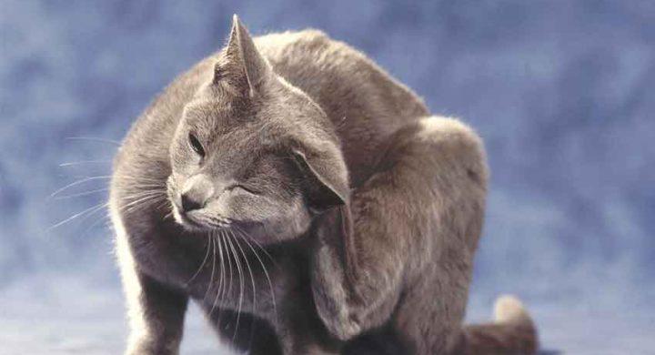 Santé chat : allergie chez le chat