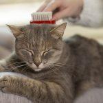 Alopecie chat : Que faire si on vit avec un chat qui perd ses poils