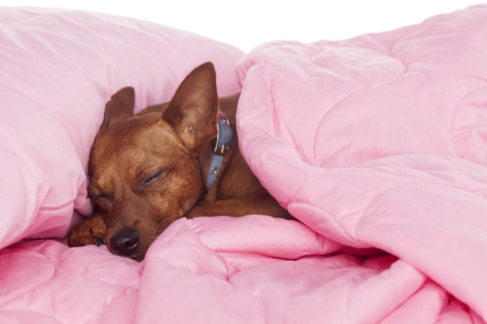 Animaux de compagnie : chien sur lit
