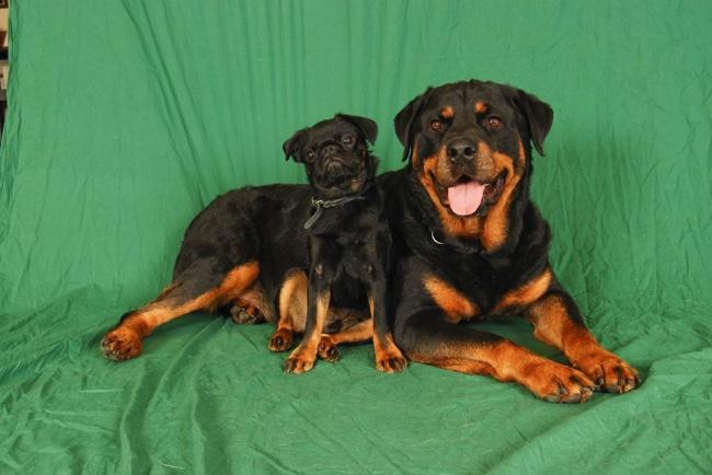 Animaux de compagnie insolite : Un rottweiler et un carlin prennent la pause tel deux jumeaux
