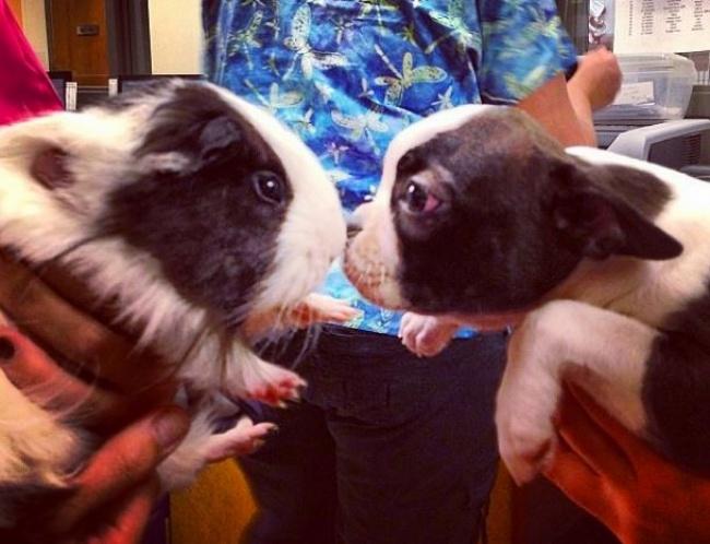 Animaux de compagnie insolite : Découvrez un cochon d'aide et son ami le chien