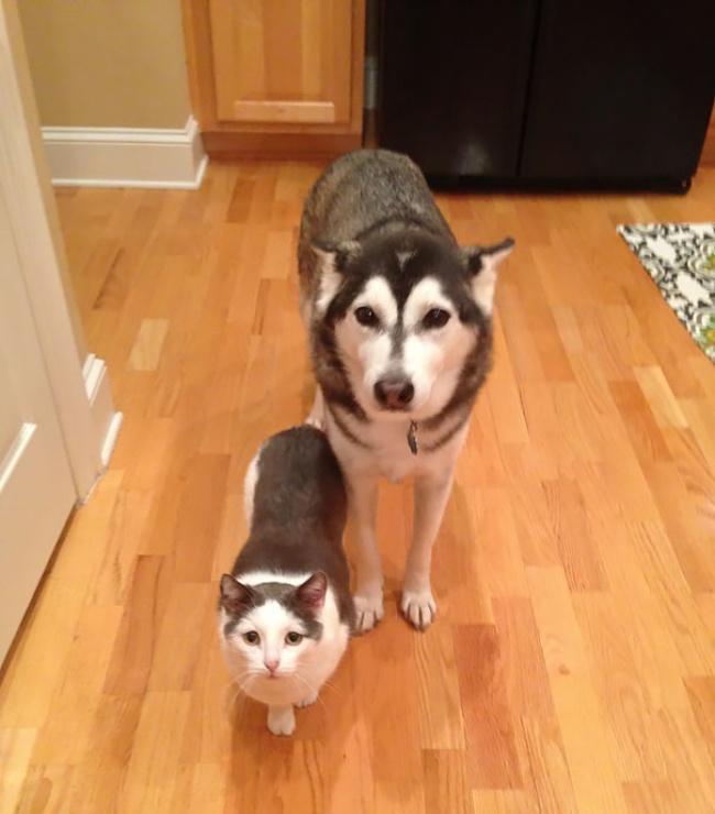 Animaux de compagnie insolite : Un husky et un chat européen qui ressemblent à des jumeaux