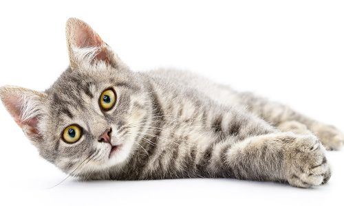 Assurance chat : assurer chat bengal