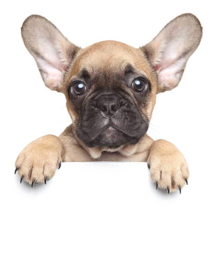 Assurer son chien : mutuelle chien : exemple du bouledogue français