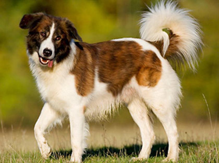 Berger de l'atlas : Toutes les races de chien