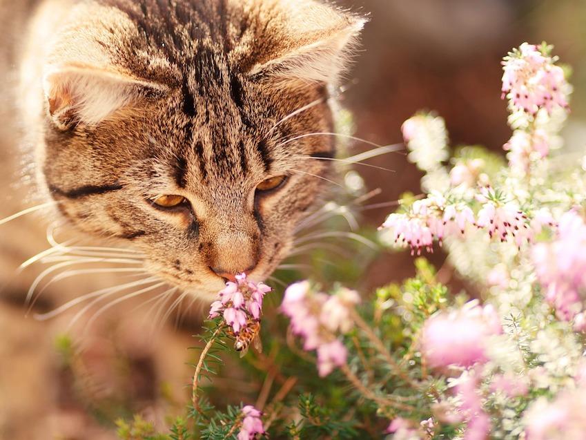 Le chat et les odeurs : l'odorat du chat aime l'olivier, bien etre chat
