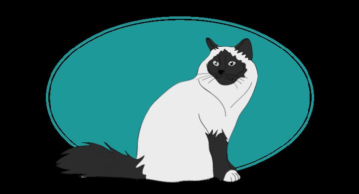 Le Birman chat animal races : tout savoir sur les chats