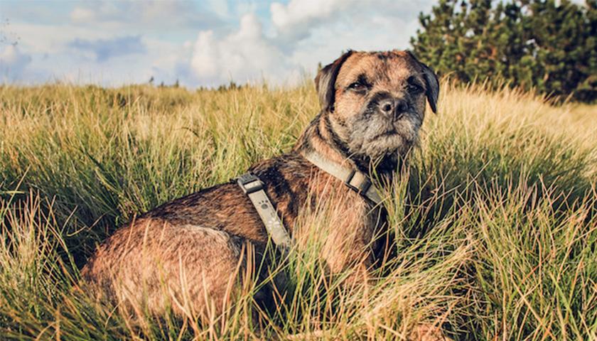 Race de chiens : Border Collier