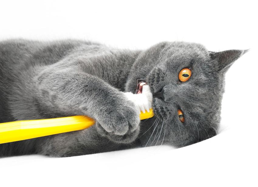 Comment brosser les dents de son Chat : Entretien