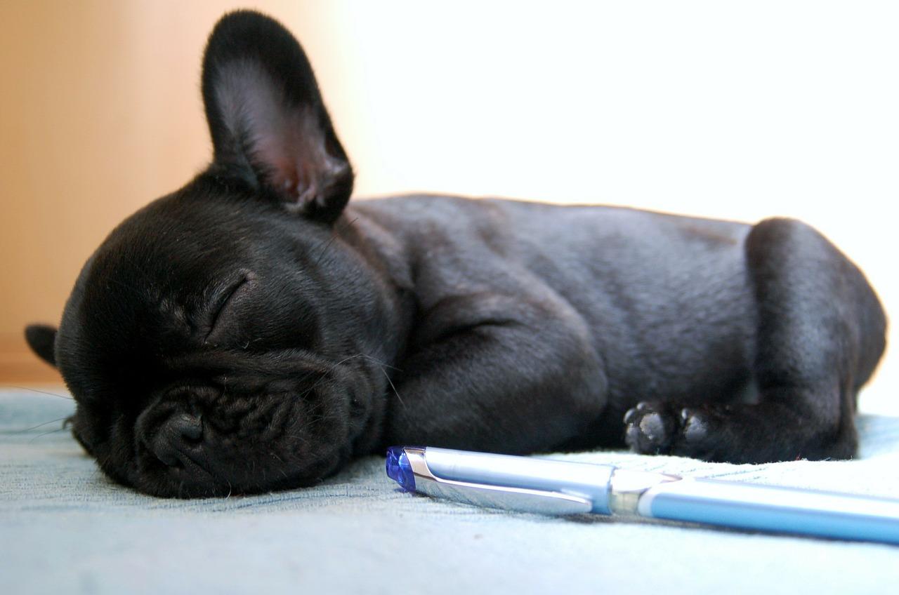 Bulldog Françcais race ne supportant pas la chaleur : Santé Chien