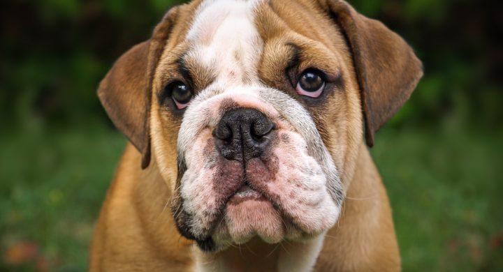 Bulldog : Toutes les races de chien