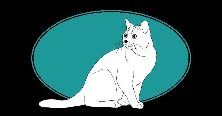Burmilla chat animal races : tout savoir sur les chats