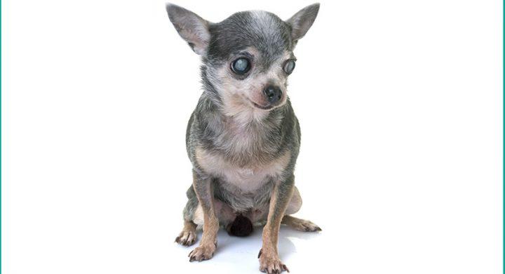 Cataracte chien : Comment gérer la cataracte chez le chien