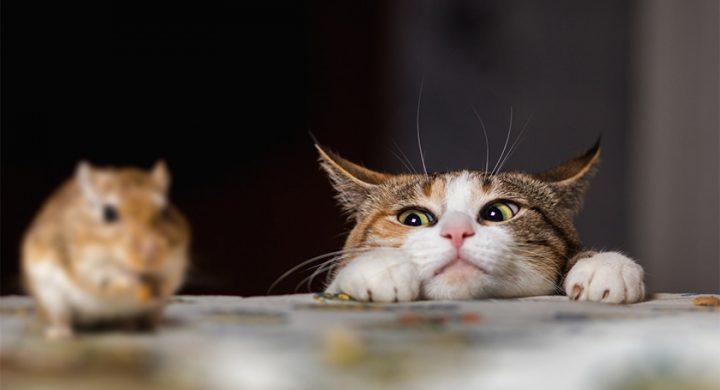 Chat chasseur de souris : Pourquoi le chat est un chasseur de souris qui aime jouer avec toi ?