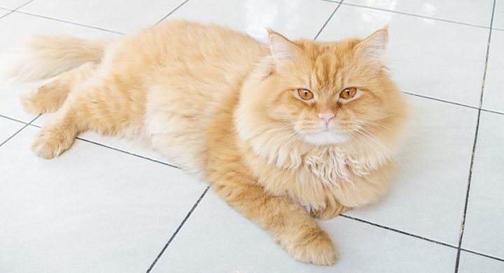 Chat et javel : Pourquoi les chats aiment ils la javel