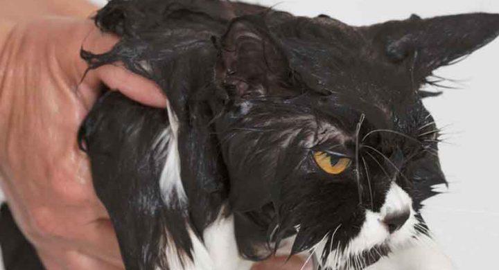 Education chat : chat mouillé, que faire si son chat a peur de l'eau