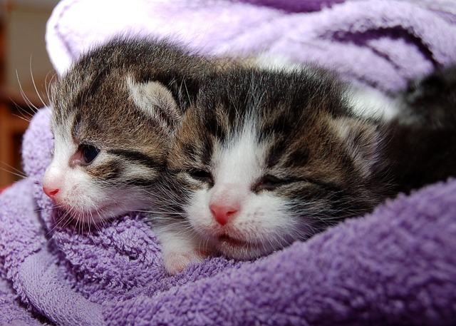 Santé prévention chat : Faire stériliser son chaton