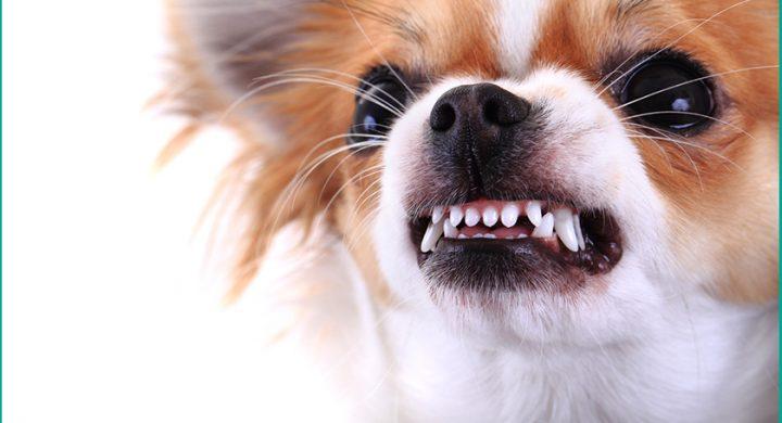 Chien agressif que faire, mon chien est méchant, chien méchant
