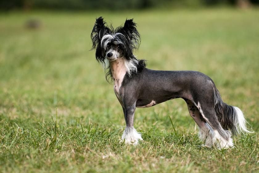 Chien chinois à crête : Toutes les races de chien