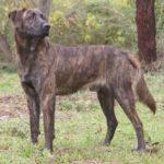 Chien corse : Toutes les races de chien