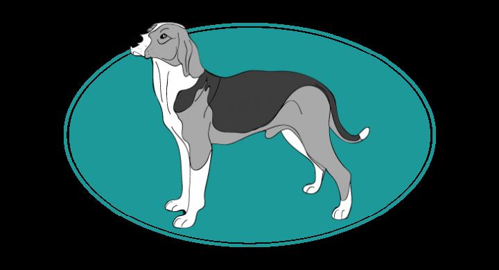 Chien courant yougoslave tricolore : Toutes les races de chien, chien races