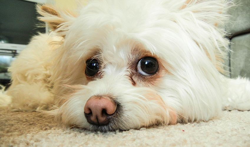 Allergie aux animaux : Le chien hypoallergénique, une alternative pour les personnes allergiques,