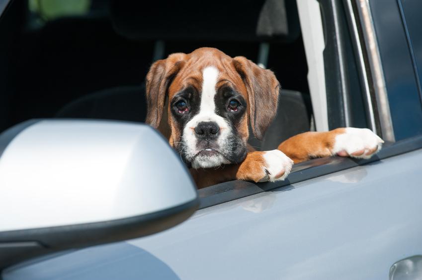 Education chien : chien malade en voiture