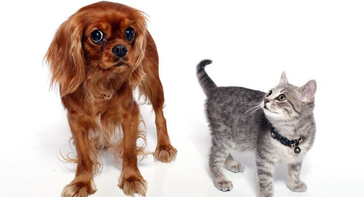 Chien vs Chat : Quel est l'animal le plus intelligent