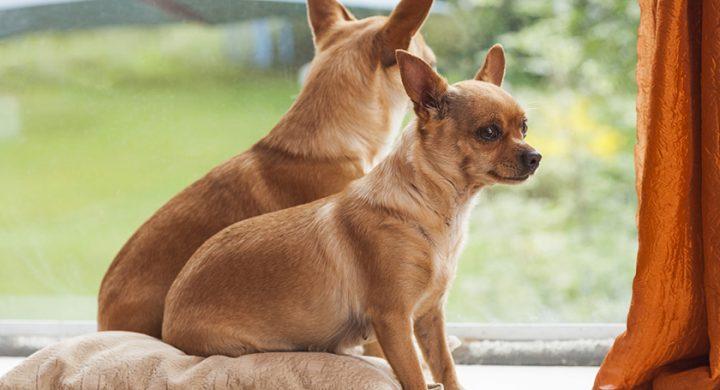 Clonage chien : cloner son chien est-ce possible