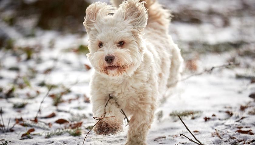 Combien de fois sortir son chien en hiver