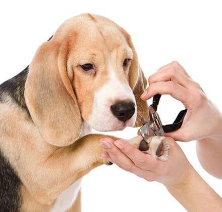 Comment couper les griffe de son chien :  Bien-être