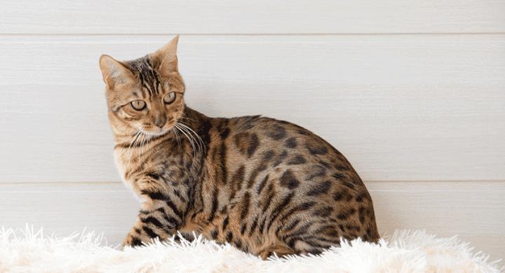 Comment enlever l'odeur de pipi de chat, urine de chat