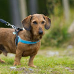 Comment mettre un harnais à son chien