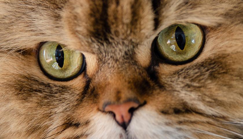 Comment voit un chat