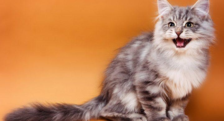 Miaulement du chat : Comment vivre avec un chat qui miaule tout le temps, chat qui miaule sans arret