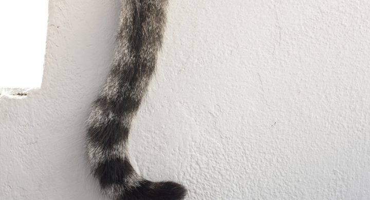 Comprendre son chat : Décrytage des mouvement de la queue du chat