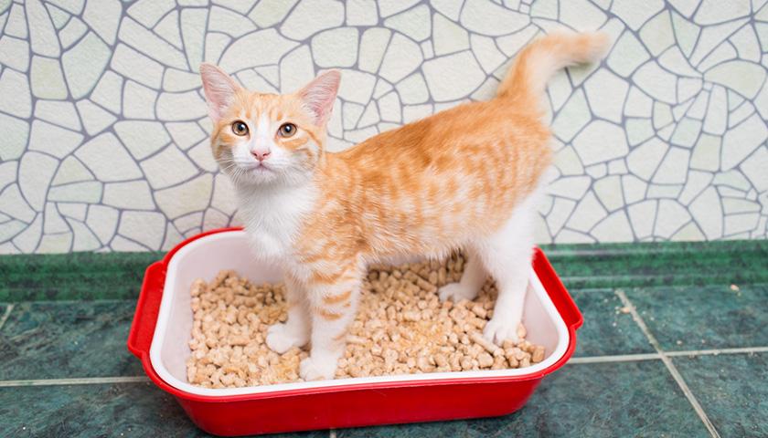 Cystite chez le chat : symptôme de l'infection urinaire chez le chat