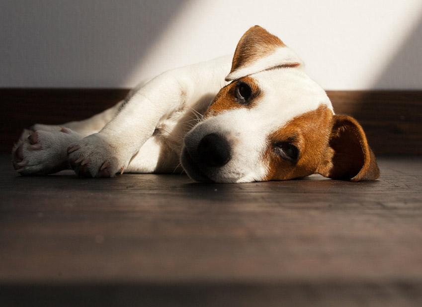 Santé chien : démodécie maladie chien