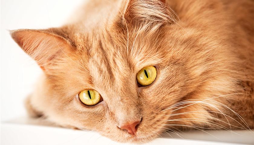 Diarrhée chez le chat : symptômes, traitement