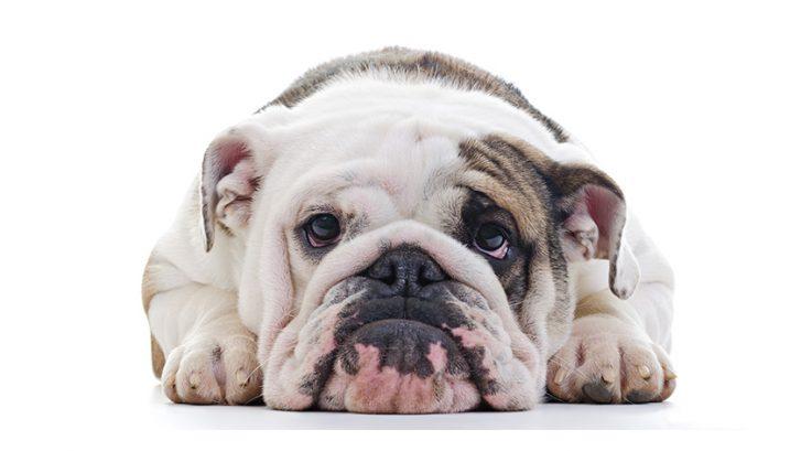 collier pour chien qui pleure