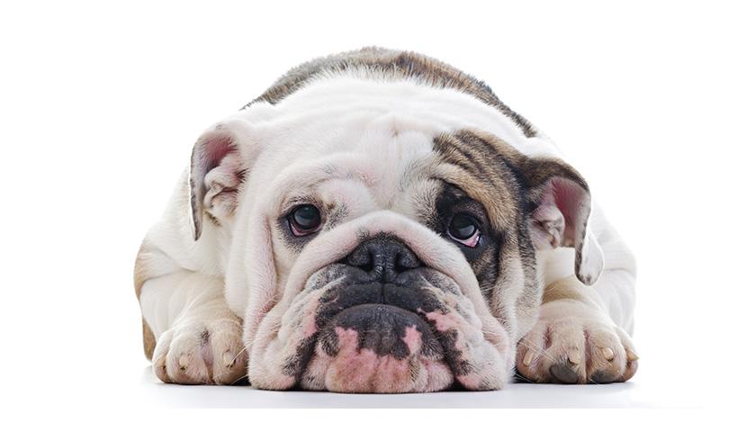 Education chien : Mon chien pleure tout le temps, que faire ?