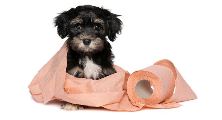 Education chien : Comment veille à la propreté du chiot dans la maison, rendre propre son chiot, rendre propre son chien