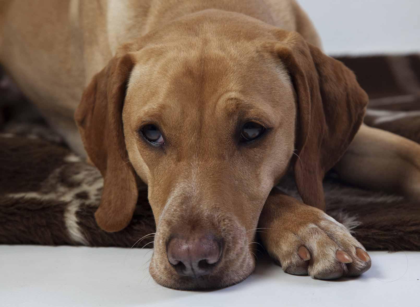 Epilepsie chien : gérer une crise d'épilepsie