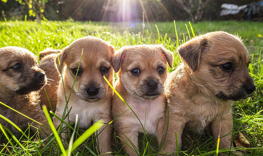Faire reproduire son chien : que dit la legislation