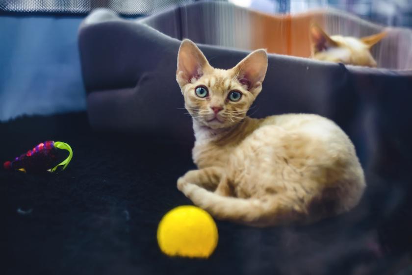 German Rex : Découvrez toutes les races de chat avec Assur