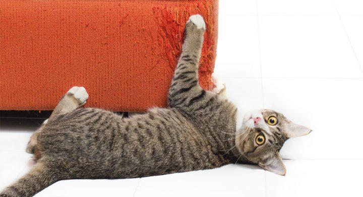 Griffure de chat : Comment soigner la griffure de chat